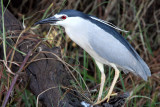 BIRD - HERON - BLACK-CROWNED NIGHT HERON - CHOBE NATIONAL PARK BOTSWANA (8).JPG
