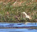 BIRD - HERON - COMMON SCUACCO HERON - CHOBE NATIONAL PARK BOTSWANA (3).JPG