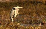 BIRD - HERON - GREY HERON  - CHOBE NATIONAL PARK BOTSWANA.JPG