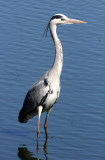 BIRD - HERON - GREY HERON - KRUGER NATIONAL PARK SOUTH AFRICA.JPG