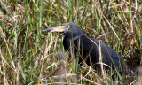 BIRD - HERON - RUFOUS-BELLIED HERON - KHWAI CAMP OKAVANGO BOTSWANA (5).JPG