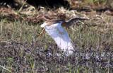 BIRD - HERON - SQUACCO HERON  - COMMON SQUACCO HERON - ARDEOLA RALLOIDES - CHOBE NATIONAL PARK BOTSWANA (3).JPG