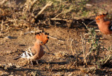 BIRD - HOOPOE - IMFOLOZI NATIONAL PARK SOUTH AFRICA.JPG