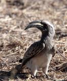 BIRD - HORNBILL - AFRICAN GREY HORNBILL - TOCKUS NASUTUS - KHWAI CAMP OKAVANGO BOTSWANA (2).JPG