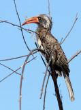 BIRD - HORNBILL - CROWNED HORNBILL - TOCKUS ALBOTERMINATUS - CHOBE NATIONAL PARK BOTSWANA (10).JPG