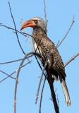 BIRD - HORNBILL - CROWNED HORNBILL - TOCKUS ALBOTERMINATUS - CHOBE NATIONAL PARK BOTSWANA (14).JPG