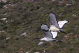 BIRD - IBIS - AFRICAN SACRED IBIS - ELAND'S BAY SOUTH AFRICA (3).JPG