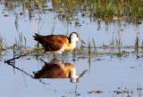 BIRD - JACANA - AFRICAN JACANA - ACTOPHILORNIS AFRICANUS - KHWAI CAMP OKAVANGO BOTSWANA.JPG