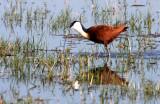 BIRD - JACANA - AFRICAN JACANA - KHWAI CAMP OKAVANGO BOTSWANA (6).JPG