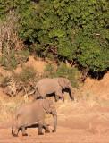 ELEPHANT - AFRICAN ELEPHANT - ALONG THE OLIFANTS RIVER - KRUGER NATIONAL PARK SOUTH AFRICA (6).JPG