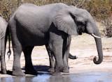 ELEPHANT - AFRICAN ELEPHANT - AT THE WATERHOLE IN SAVUTI - CHOBE NATIONAL PARK BOTSWANA (11).JPG