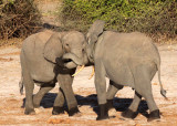 ELEPHANT - AFRICAN ELEPHANT - CHOBE NATIONAL PARK BOTSWANA (25).JPG