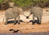 ELEPHANT - AFRICAN ELEPHANT - CHOBE NATIONAL PARK BOTSWANA (28).JPG