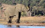 ELEPHANT - AFRICAN ELEPHANT - CHOBE NATIONAL PARK BOTSWANA (40).JPG