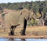 ELEPHANT - AFRICAN ELEPHANT - CHOBE NATIONAL PARK BOTSWANA (42).JPG