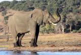 ELEPHANT - AFRICAN ELEPHANT - CHOBE NATIONAL PARK BOTSWANA (43).JPG