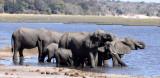 ELEPHANT - AFRICAN ELEPHANT - CHOBE NATIONAL PARK BOTSWANA.JPG