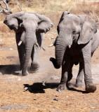 ELEPHANT - AFRICAN ELEPHANT - ETOSHA NATIONAL PARK NAMIBIA (123).JPG