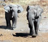 ELEPHANT - AFRICAN ELEPHANT - ETOSHA NATIONAL PARK NAMIBIA (125).JPG