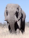 ELEPHANT - AFRICAN ELEPHANT - ETOSHA NATIONAL PARK NAMIBIA (2).JPG