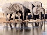 ELEPHANT - AFRICAN ELEPHANT - ETOSHA NATIONAL PARK NAMIBIA (25).JPG