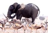ELEPHANT - AFRICAN ELEPHANT - ETOSHA NATIONAL PARK NAMIBIA (28).JPG