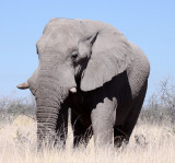 ELEPHANT - AFRICAN ELEPHANT - ETOSHA NATIONAL PARK NAMIBIA (3).JPG