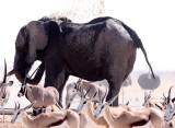ELEPHANT - AFRICAN ELEPHANT - ETOSHA NATIONAL PARK NAMIBIA (30).JPG