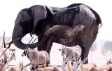 ELEPHANT - AFRICAN ELEPHANT - ETOSHA NATIONAL PARK NAMIBIA (33).JPG