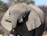 ELEPHANT - AFRICAN ELEPHANT - ETOSHA NATIONAL PARK NAMIBIA (37).JPG