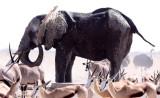 ELEPHANT - AFRICAN ELEPHANT - ETOSHA NATIONAL PARK NAMIBIA (42).JPG