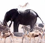 ELEPHANT - AFRICAN ELEPHANT - ETOSHA NATIONAL PARK NAMIBIA (47).JPG