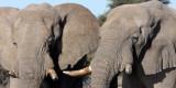 ELEPHANT - AFRICAN ELEPHANT - ETOSHA NATIONAL PARK NAMIBIA (48).JPG