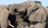 ELEPHANT - AFRICAN ELEPHANT - ETOSHA NATIONAL PARK NAMIBIA (50).JPG