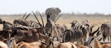 ELEPHANT - AFRICAN ELEPHANT - ETOSHA NATIONAL PARK NAMIBIA (55).JPG