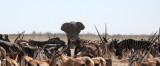 ELEPHANT - AFRICAN ELEPHANT - ETOSHA NATIONAL PARK NAMIBIA (58).JPG