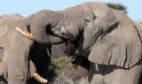ELEPHANT - AFRICAN ELEPHANT - ETOSHA NATIONAL PARK NAMIBIA (61).JPG
