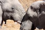 ELEPHANT - AFRICAN ELEPHANT - ETOSHA NATIONAL PARK NAMIBIA (66).JPG