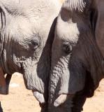 ELEPHANT - AFRICAN ELEPHANT - ETOSHA NATIONAL PARK NAMIBIA (67).JPG