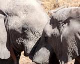 ELEPHANT - AFRICAN ELEPHANT - ETOSHA NATIONAL PARK NAMIBIA (68).JPG