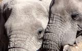 ELEPHANT - AFRICAN ELEPHANT - ETOSHA NATIONAL PARK NAMIBIA (70).JPG