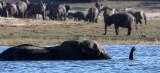 ELEPHANT - AFRICAN ELEPHANT - FROLICKING IN THE CHOBE - CHOBE NATIONAL PARK BOTSWANA (5).JPG