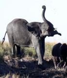ELEPHANT - AFRICAN ELEPHANT - FROLICKING IN THE CHOBE RIVER - CHOBE NATIONAL PARK BOTSWANA (23).JPG