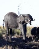 ELEPHANT - AFRICAN ELEPHANT - FROLICKING IN THE CHOBE RIVER - CHOBE NATIONAL PARK BOTSWANA (24).JPG