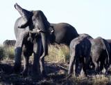 ELEPHANT - AFRICAN ELEPHANT - FROLICKING IN THE CHOBE RIVER - CHOBE NATIONAL PARK BOTSWANA (27).JPG