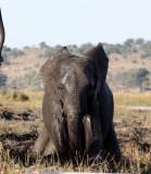 ELEPHANT - AFRICAN ELEPHANT - FROLICKING IN THE CHOBE RIVER - CHOBE NATIONAL PARK BOTSWANA (28).JPG
