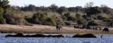 ELEPHANT - AFRICAN ELEPHANT - FROLICKING IN THE CHOBE RIVER - CHOBE NATIONAL PARK BOTSWANA (3).JPG