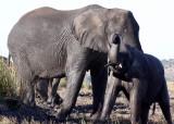 ELEPHANT - AFRICAN ELEPHANT - FROLICKING IN THE CHOBE RIVER - CHOBE NATIONAL PARK BOTSWANA (32).JPG