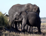 ELEPHANT - AFRICAN ELEPHANT - FROLICKING IN THE CHOBE RIVER - CHOBE NATIONAL PARK BOTSWANA (34).JPG