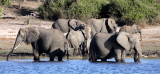 ELEPHANT - AFRICAN ELEPHANT - FROLICKING IN THE CHOBE RIVER - CHOBE NATIONAL PARK BOTSWANA (40).JPG